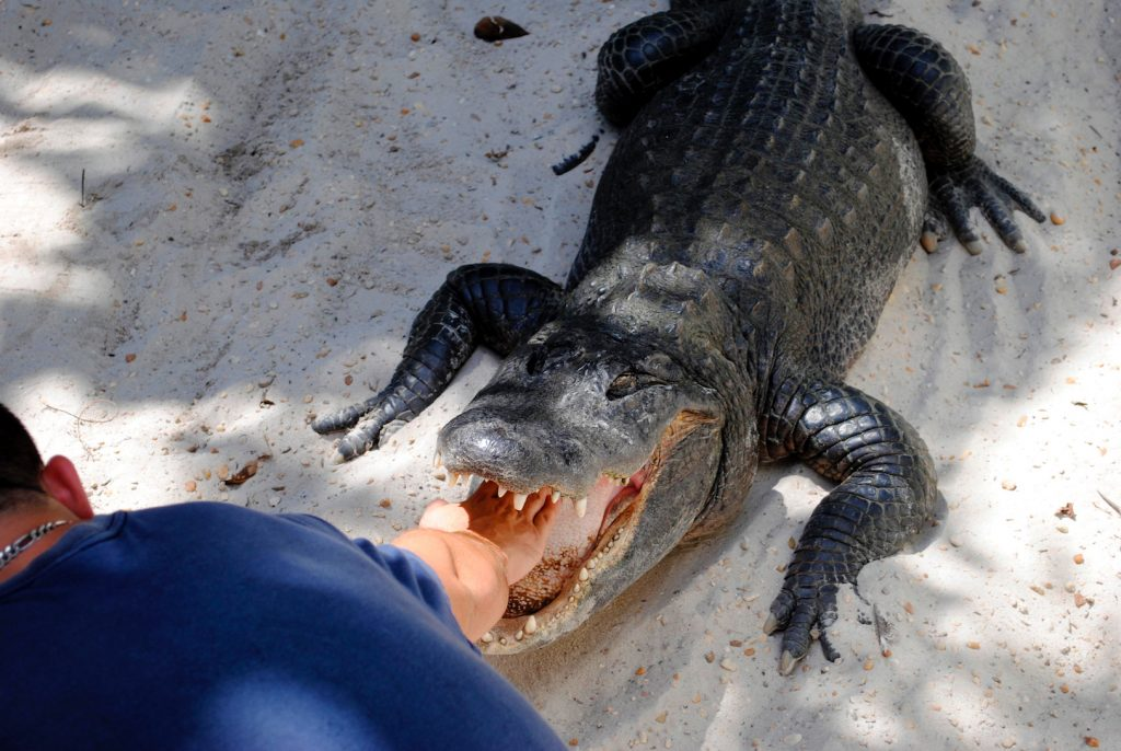 Борьба с аллигатором, США.jpg